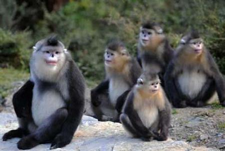 Black Snub Nosed Monkeys