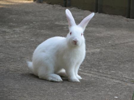 China White Rabbit