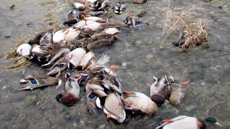 China Dead Ducks