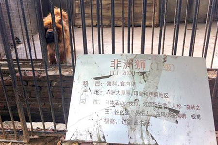 "A Tibetan mastiff looks out from a cage near a sign which reads ""African lion"" in Luohe zoo, China"