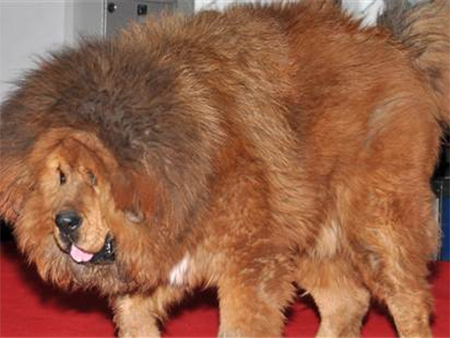 A Chinese zoo is under fire today for trying to disguise a dog as a lion. Zoo officials said in their defense that the Tibetan mastiff, which has a lion-like mane, was only a temporary replacement for the King of the Beasts