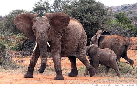 """""""African elephants could disappear from the wild within a generation,"""" warns founder of Save the Elephants."""