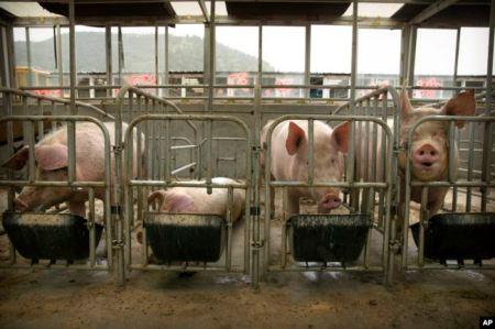 Pig Farming in China