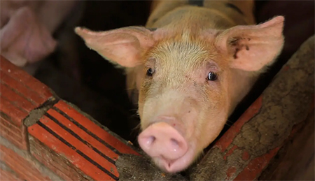 Pig in Pen, China