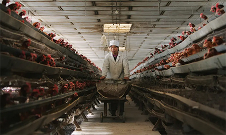 Is China's factory farming to blame for coronavirus?