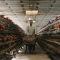 Chinese Factory Farm