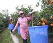 Farmers harvesting fruit in Guizhou province